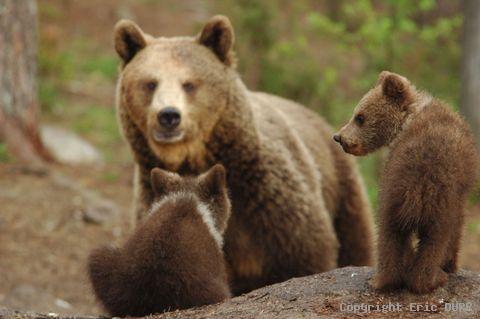 Dossier : L'ours des Pyrénées