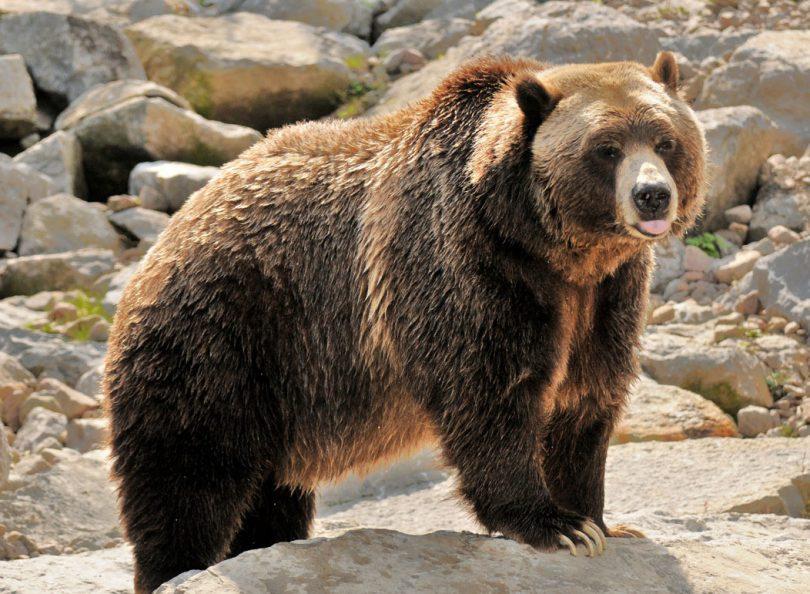 L'ours : Spécificités et caractéristiques